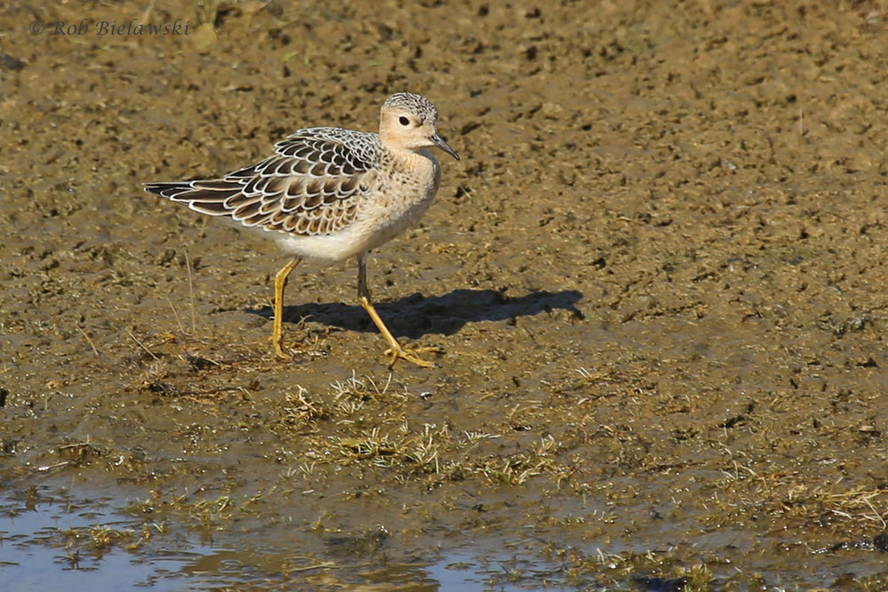 Buff-breasted Sandpiper / 26 Aug / Back Bay NWR