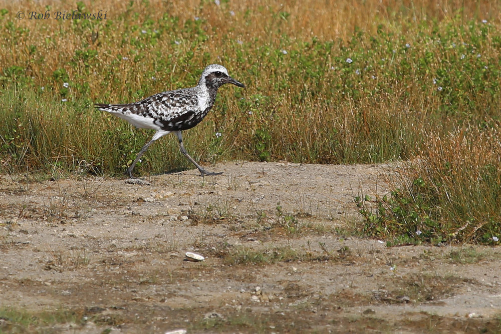 Black-bellied Plover / 26 Aug / Back Bay NWR