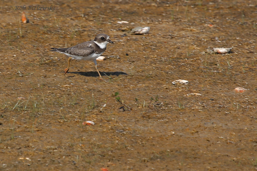 Semipalmated Plover / 26 Aug / Back Bay NWR