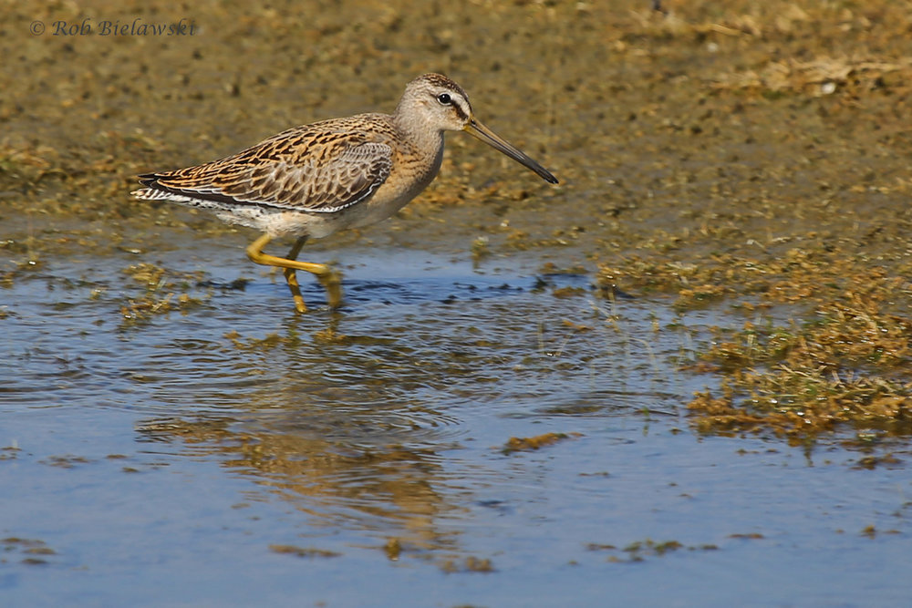 Short-billed Dowitcher / 26 Aug / Back Bay NWR