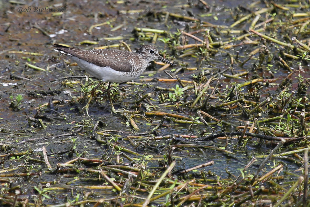 Solitary Sandpiper / 28 Aug 2016 / Bayville Farms Park