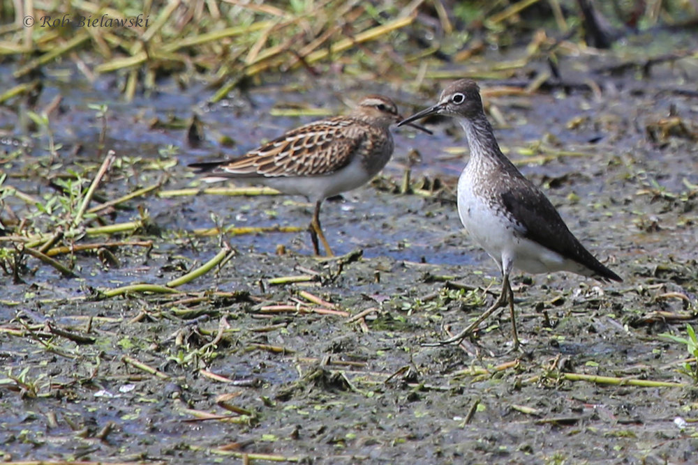 Pectoral & Solitary Sandpiper / 28 Aug 2016 / Bayville Farms Park