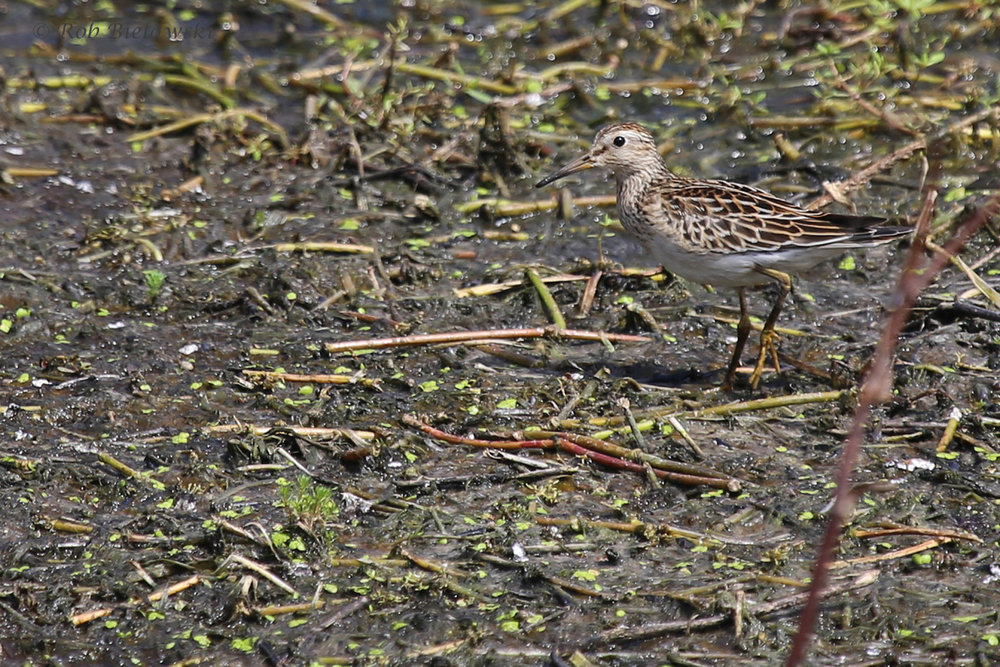 Pectoral Sandpiper / 28 Aug 2016 / Bayville Farms Park