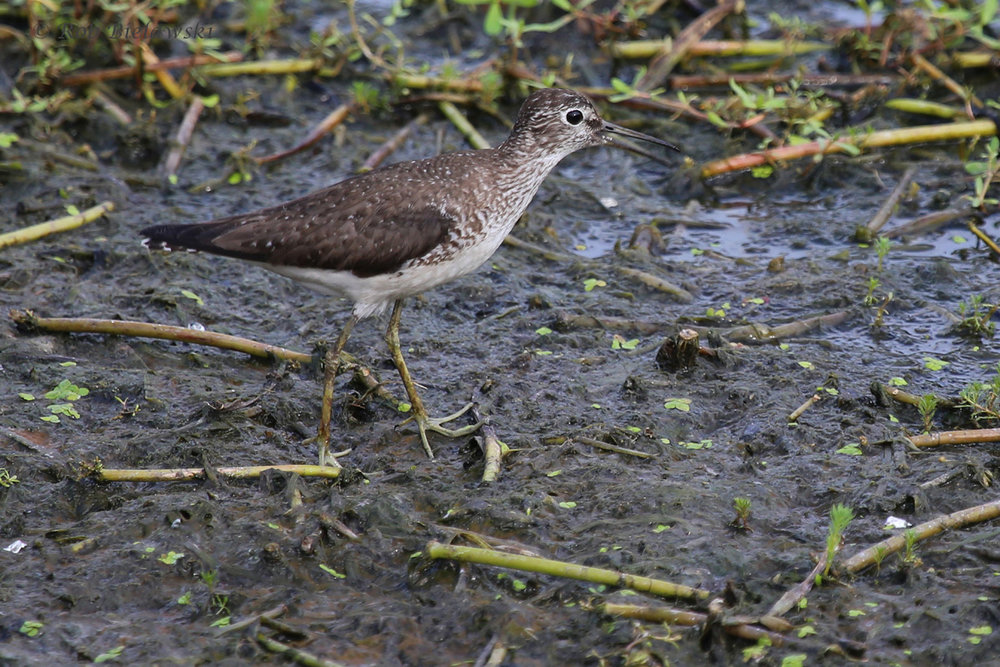 Solitary Sandpiper / 31 Aug 2016 / Bayville Farms Park