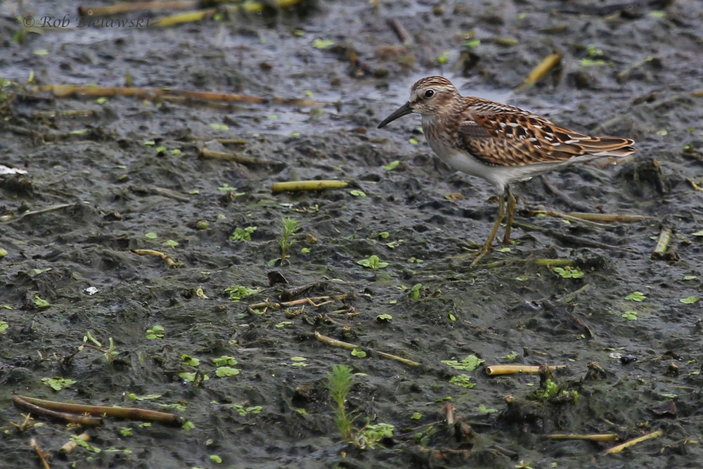 Least Sandpiper / 31 Aug 2016 / Bayville Farms Park
