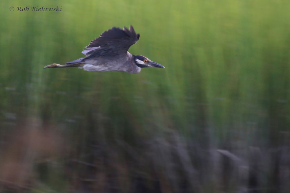 Yellow-crowned Night-Heron / 31 Aug 2016 / Pleasure House Point NA