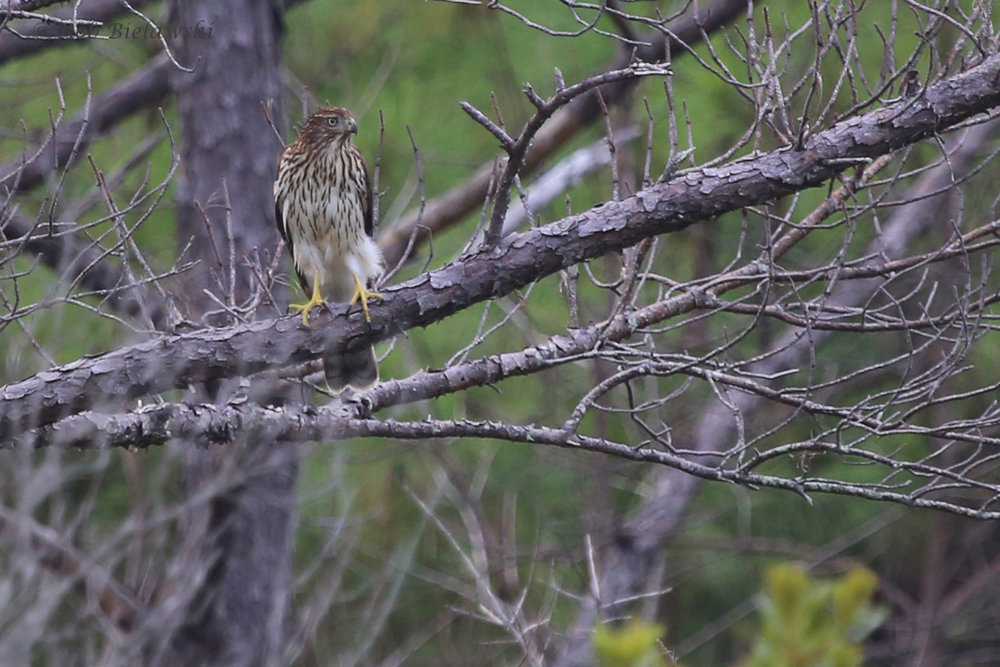 Cooper's Hawk / 31 Aug 2016 / Pleasure House Point NA
