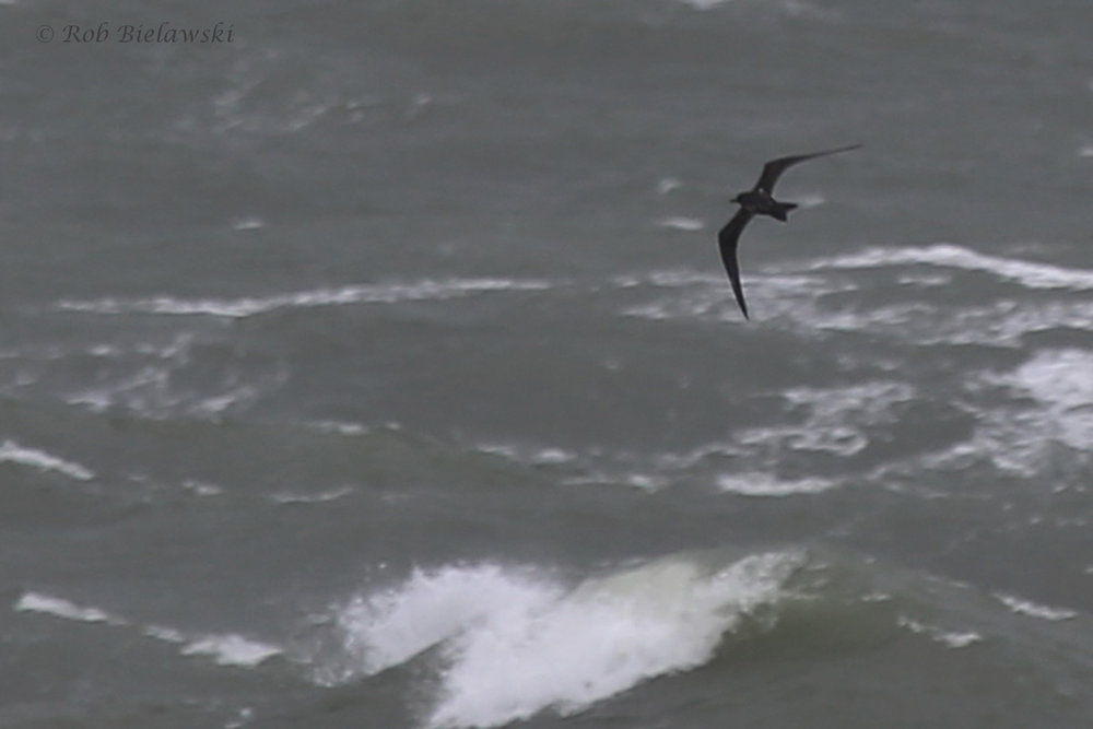 Sooty Tern / 3 Sep 2016 / South Thimble Island