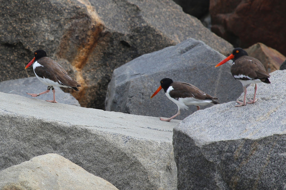 American Oystercatchers / 4 Sep 2016 / South Thimble Island
