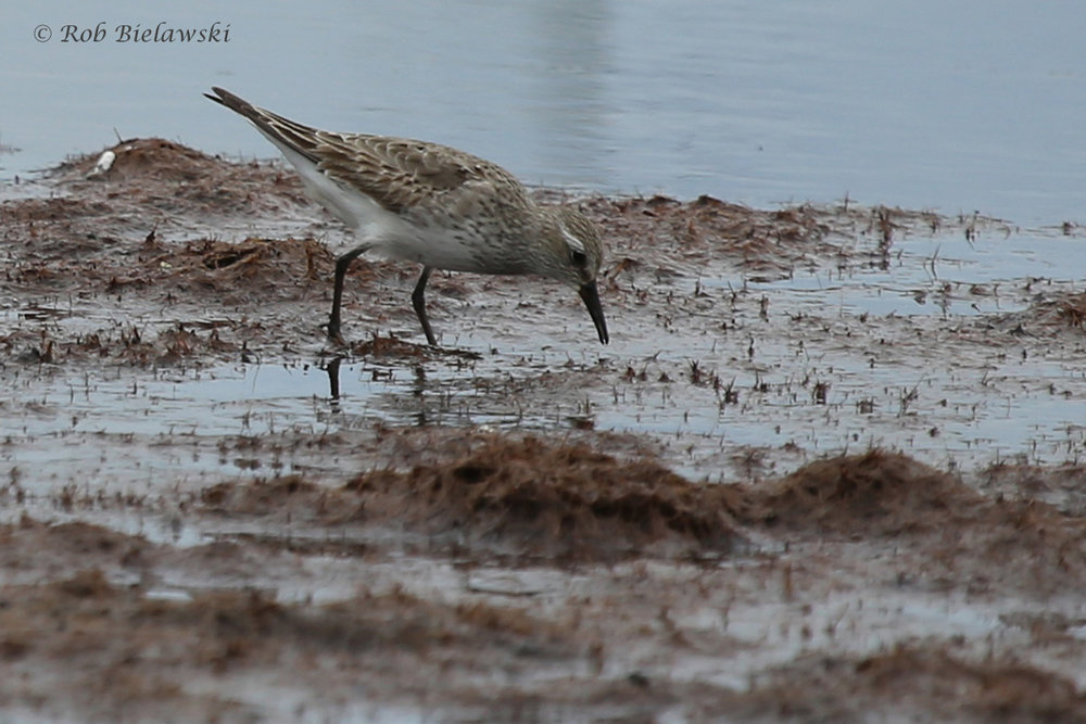White-rumped Sandpiper / 2 Sep 2016 / Back Bay NWR