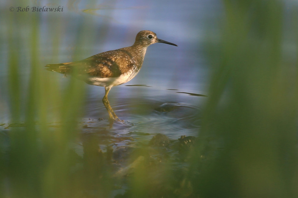 Solitary Sandpiper / 7 Sep 2016 / Pleasure House Point NA