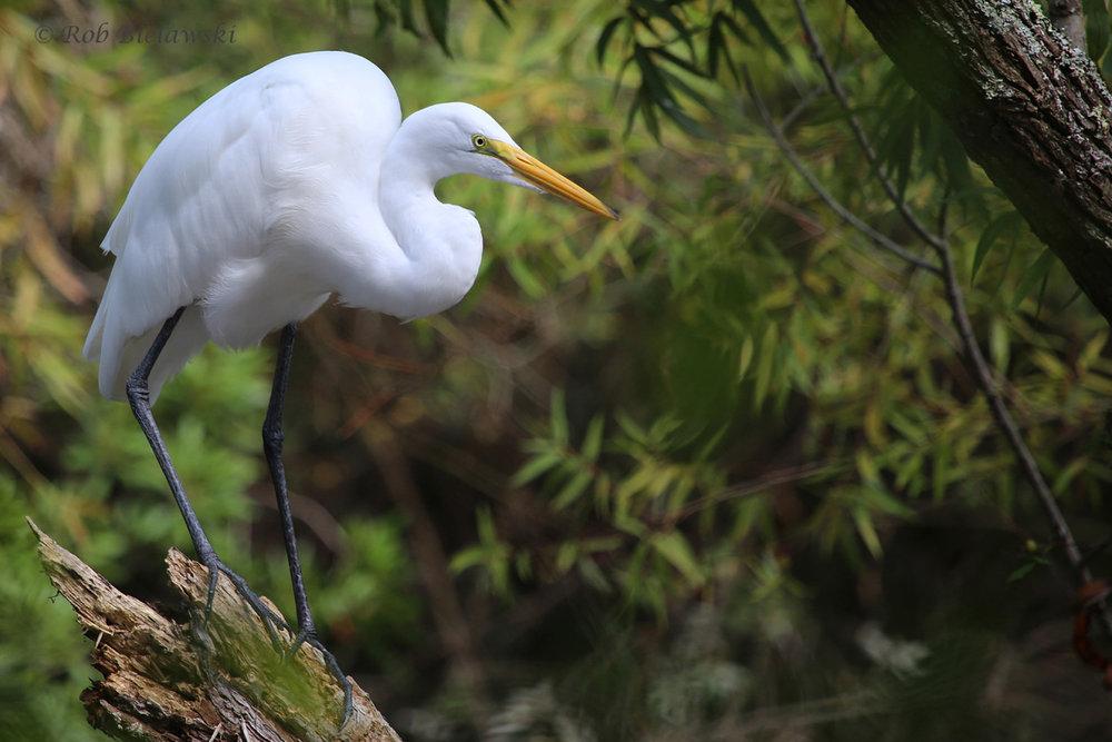 Great Egret / 10 Sep 2016 / Stumpy Lake NA