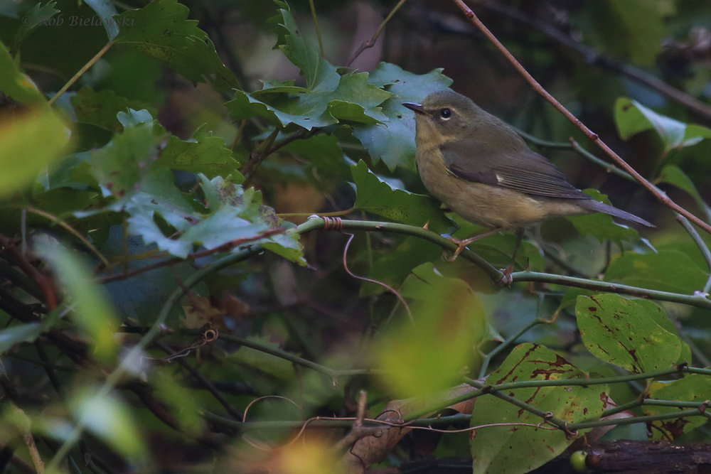 Black-throated Blue Warbler / 23 Sep / Camp Pendleton