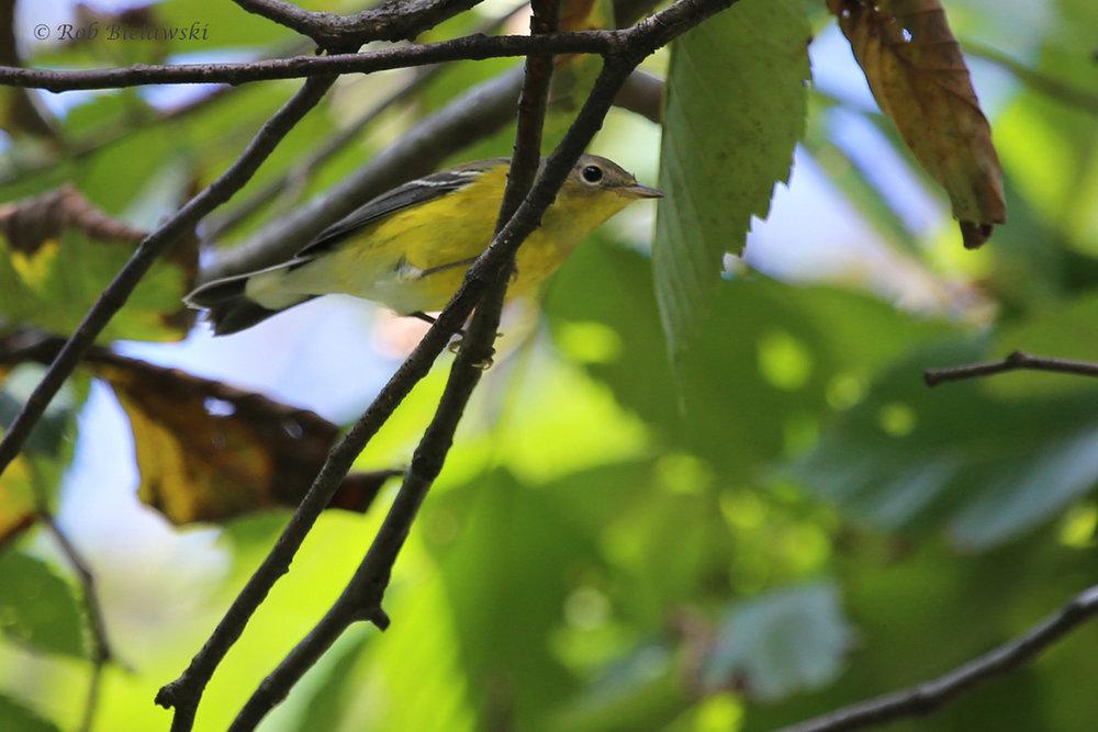 Magnolia Warbler / 25 Sep / Witt Park
