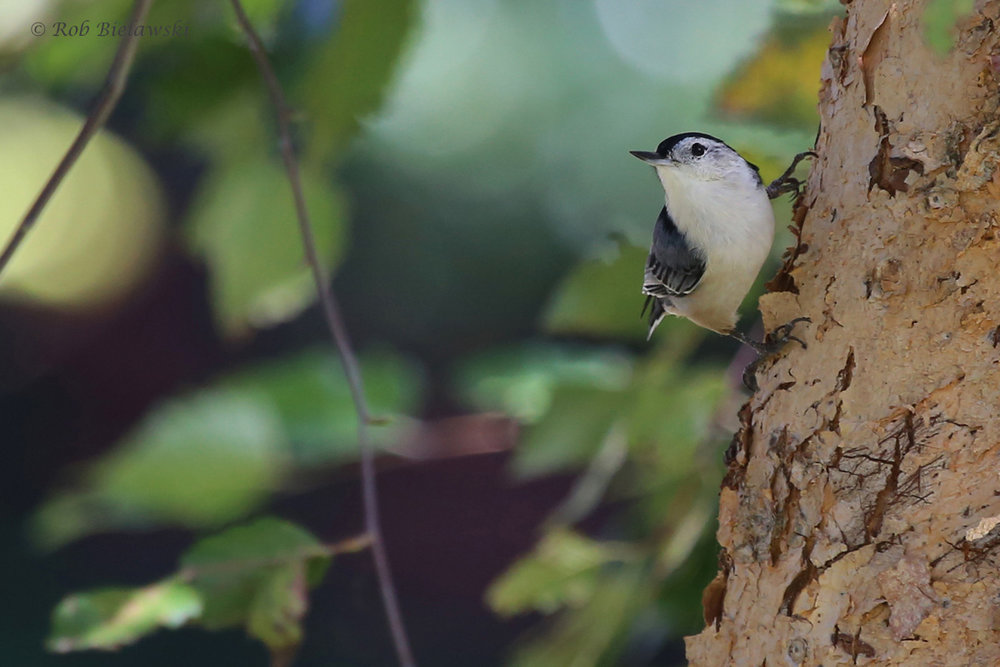 White-breasted Nuthatch / 25 Sep / Witt Park
