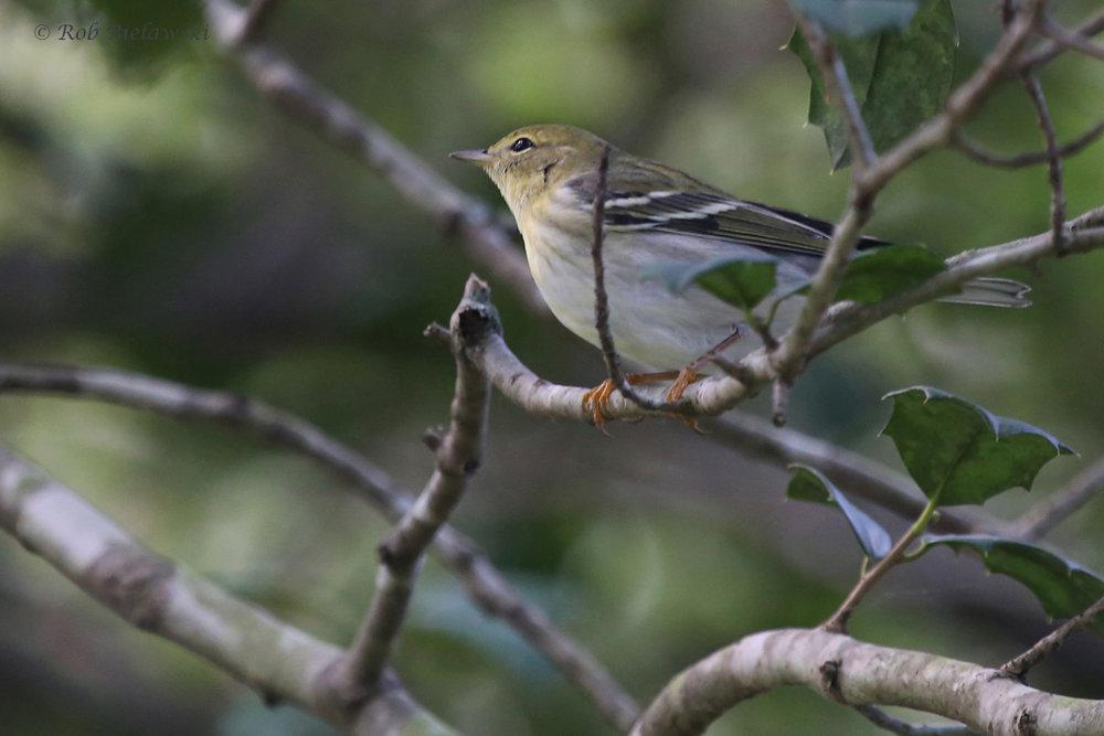 Blackpoll Warbler / 25 Sep / Witt Park
