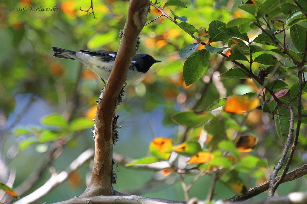 Black-throated Blue Warbler / 25 Sep / Witt Park