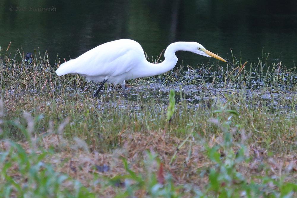 Great Egret / 30 Sep / Kings Grant Lakes