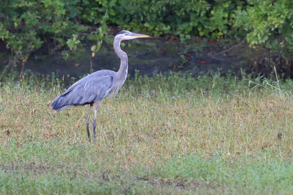 Great Blue Heron / 30 Sep / Kings Grant Lakes
