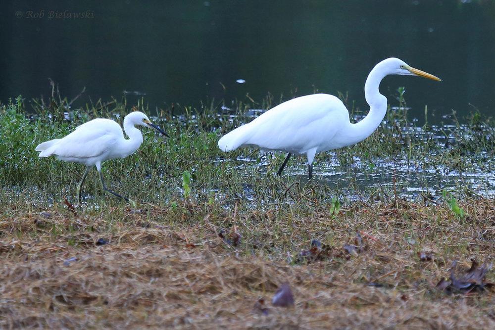 Snowy & Great Egret / 30 Sep / Kings Grant Lakes