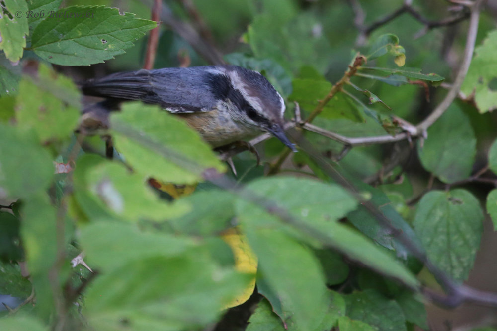 Red-breasted Nuthatch / 30 Sep / Back Bay NWR