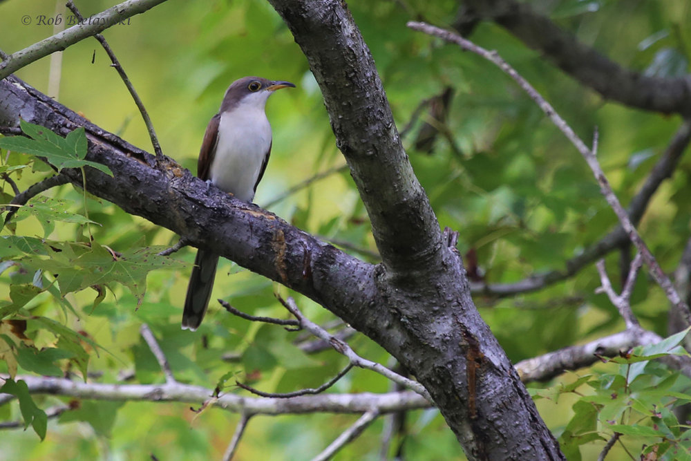 Yellow-billed Cuckoo / 3 Oct / Lake Lawson & Lake Smith NA