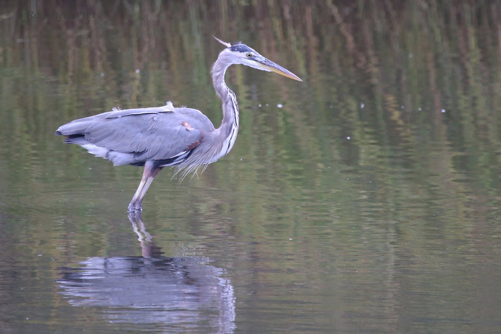 Great Blue Heron / 8 Oct / Pleasure House Point NA