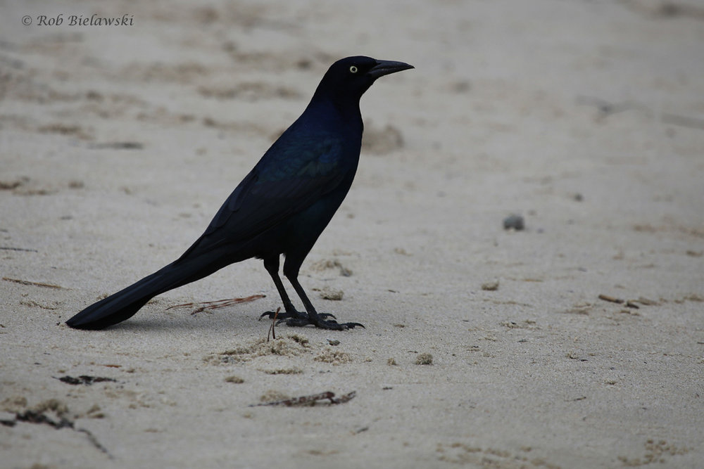 Boat-tailed Grackle / 8 Oct / Pleasure House Point NA