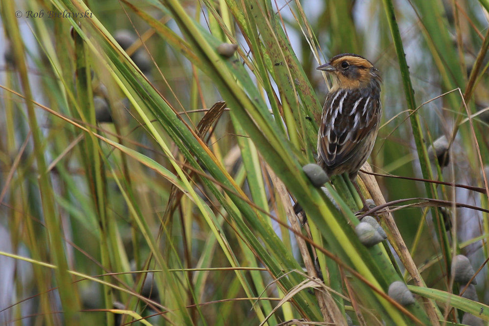 Nelson's Sparrow / 8 Oct / Pleasure House Point NA
