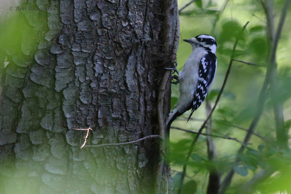 Downy Woodpecker / 11 Oct / Francis Land HP