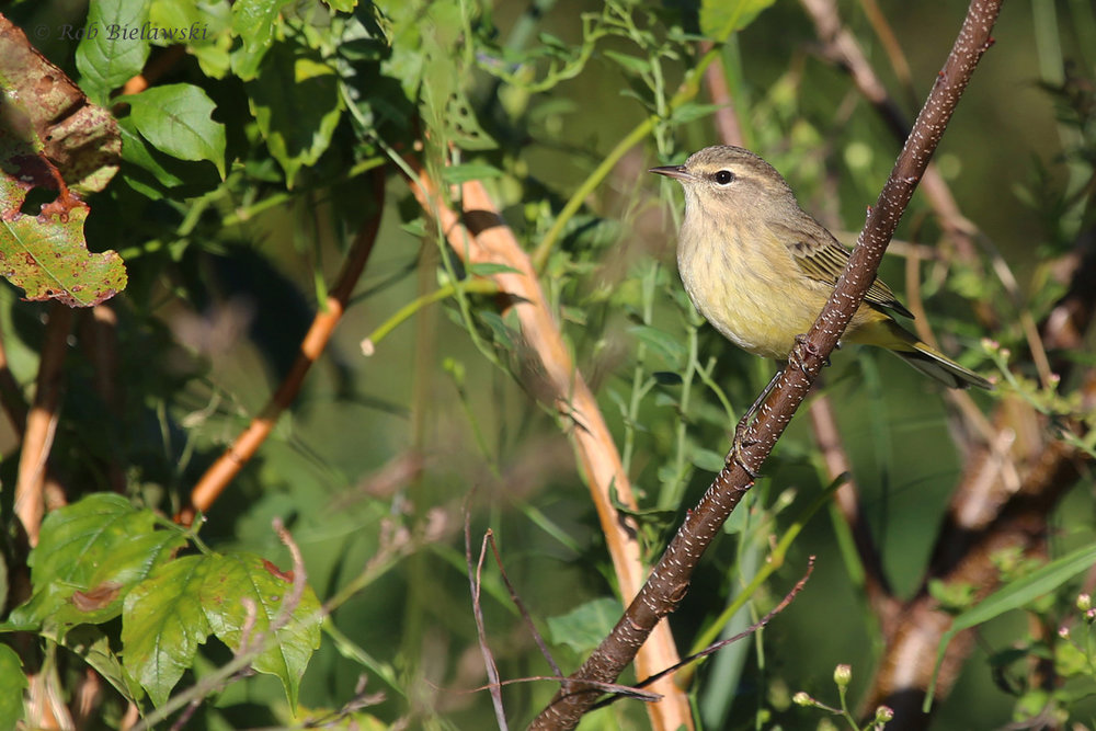 Palm Warbler / 11 Oct / Taste Unlimited Bayville