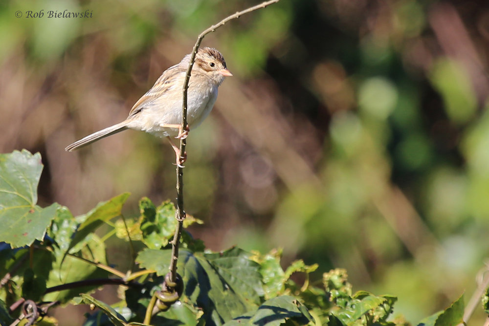 Clay-colored Sparrow / 11 Oct / Taste Unlimited Bayville