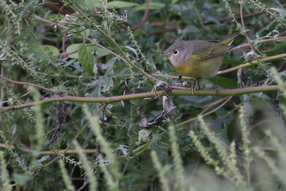 Nashville Warbler / 11 Oct / Taste Unlimited Bayville