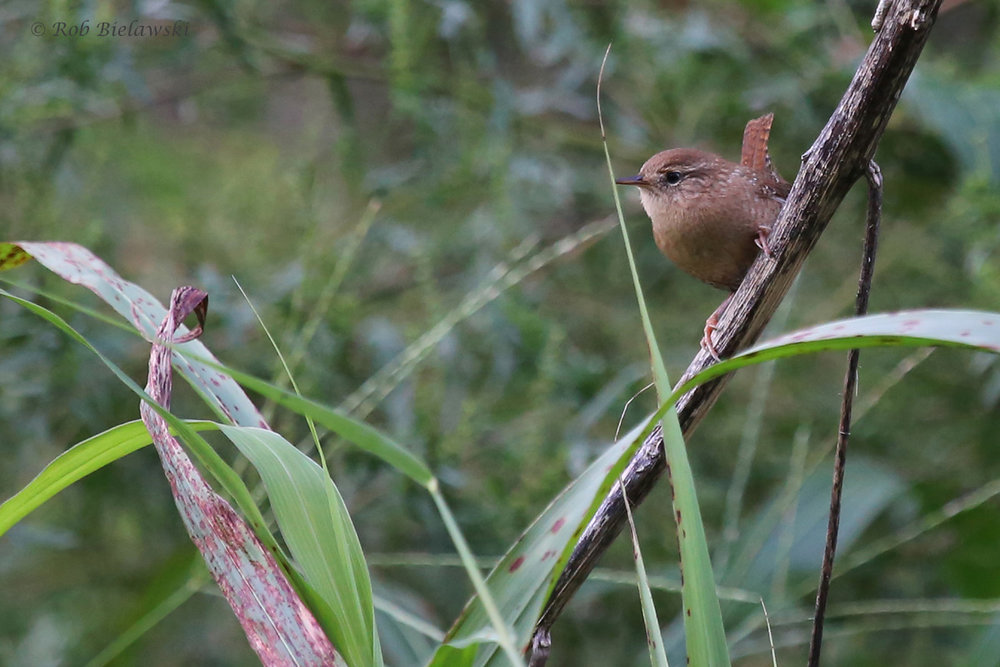 Winter Wren / 11 Oct / Taste Unlimited Bayville