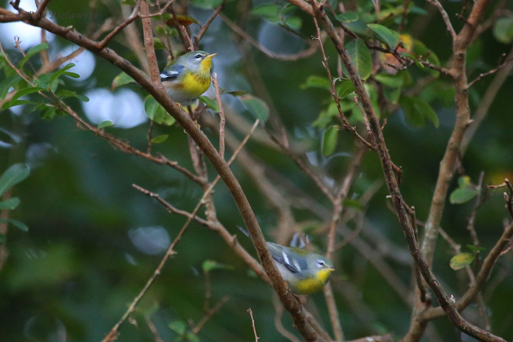 Northern Parula / 12 Oct / Kings Grant Lakes