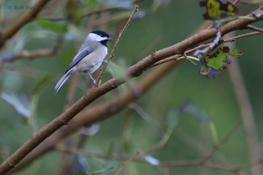 Carolina Chickadee / 12 Oct / Kings Grant Lakes