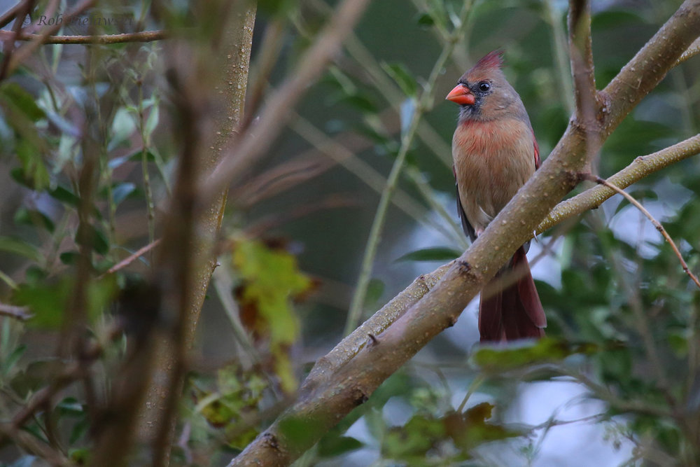 Northern Cardinal / 12 Oct / Kings Grant Lakes