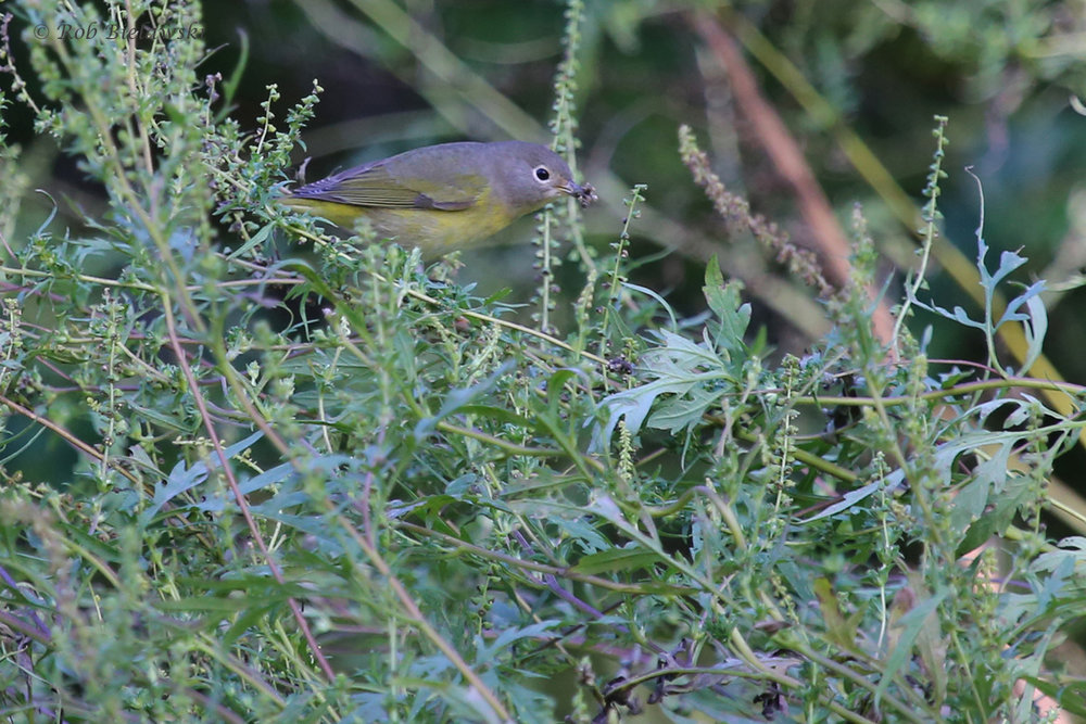 Nashville Warbler / 12 Oct / Taste Unlimited Bayville