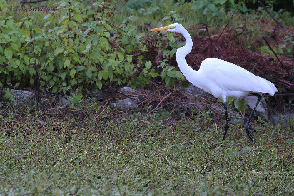 Great Egret / 12 Oct / Kings Grant Lakes