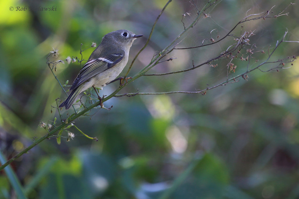 Ruby-crowned Kinglet / 12 Oct / Little Island Park