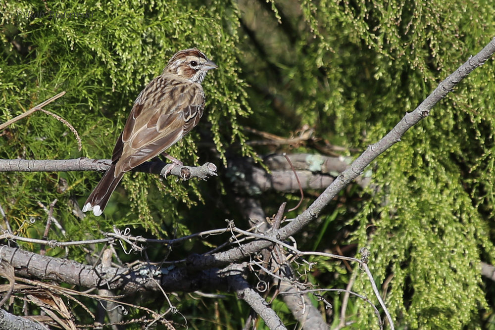 Lark Sparrow / 12 Oct / Back Bay NWR