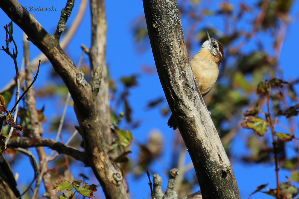 Carolina Wren / 16 Oct / Princess Anne WMA Whitehurst Tract