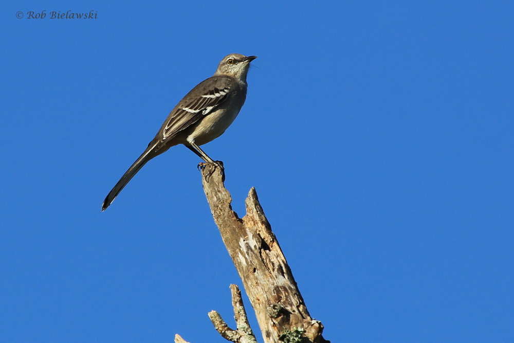 Northern Mockingbird / 16 Oct / Princess Anne WMA Whitehurst Tract