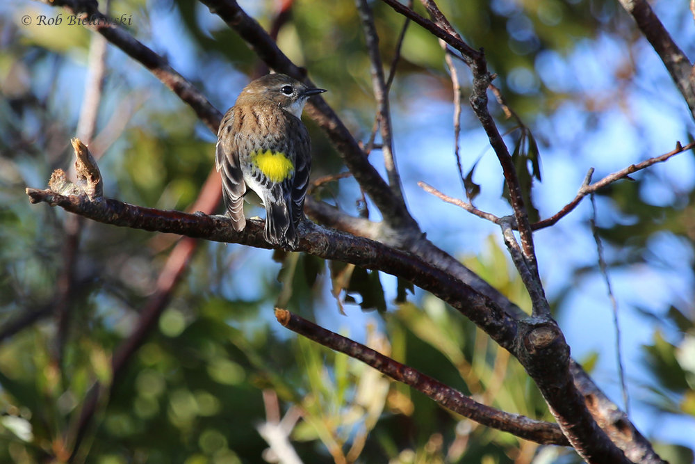 Yellow-rumped Warbler / 16 Oct / Princess Anne WMA Whitehurst Tract