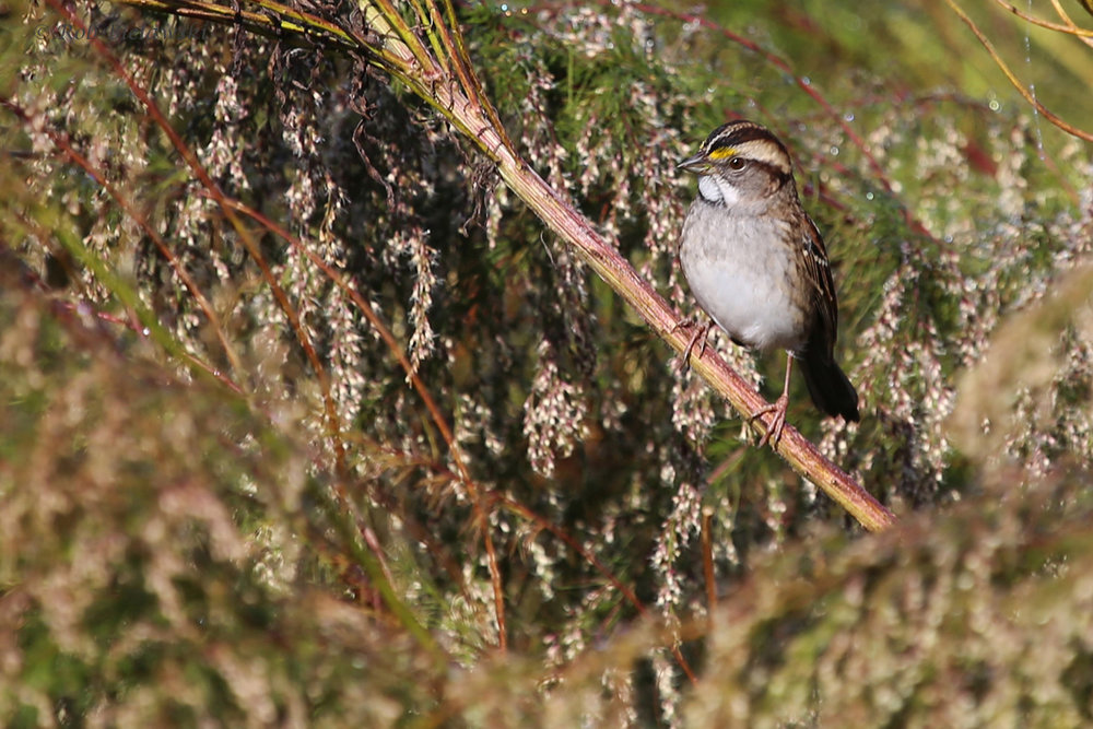 White-throated Sparrow / 16 Oct / Princess Anne WMA Whitehurst Tract