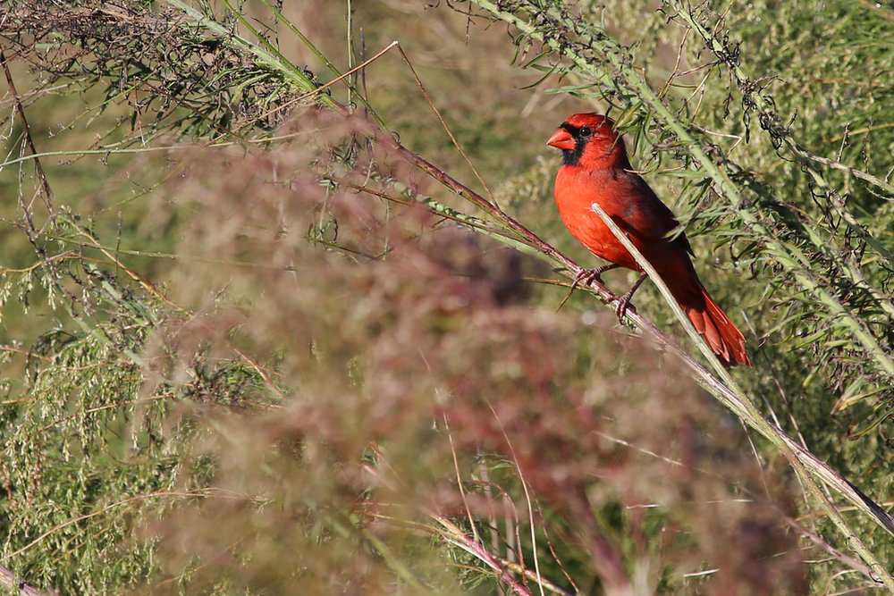 Northern Cardinal / 16 Oct / Princess Anne WMA Whitehurst Tract