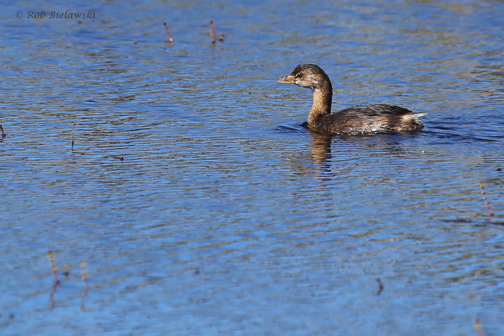 Pied-billed Grebe / 16 Oct / Back Bay NWR