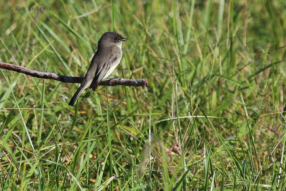 Eastern Phoebe / 16 Oct / Princess Anne WMA Whitehurst Tract
