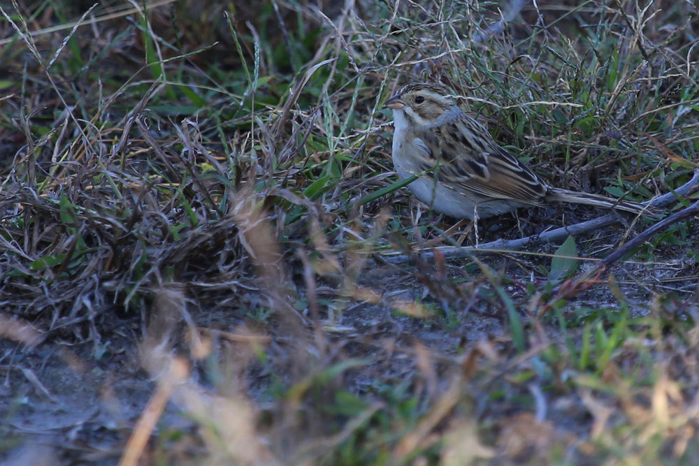 Clay-colored Sparrow / 23 Oct / Back Bay NWR