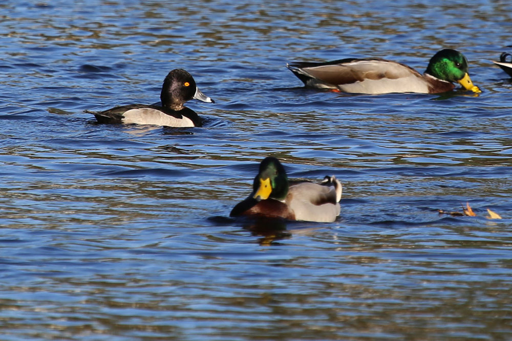 Ring-necked Duck & Mallards / 24 Oct / Kings Grant Lakes